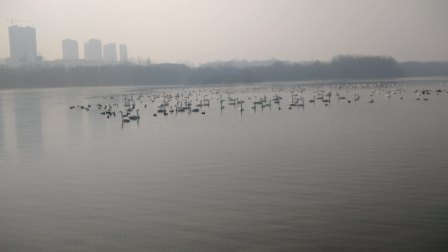 三门峡天鹅湖近距离拍摄白天鹅之白天鹅与丑小鸭 2017.2.3