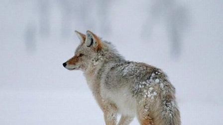 布列瑟农-----流血的狼