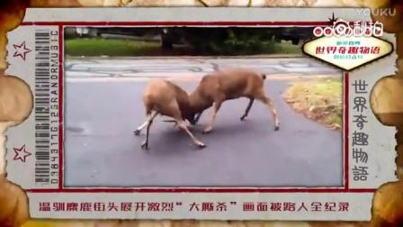 """实拍:温驯麋鹿街头展开激烈""""大厮杀"""" 画面"""