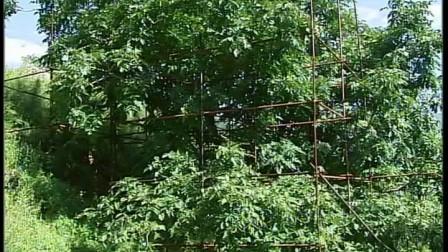 本人专业摄像机拍摄 北京平谷区四座楼100多年麻核桃老树 文玩核桃 四座楼实貌