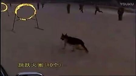 中国最厉害的军犬视频-训犬网站