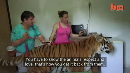 巴西土豪家养七只老虎当宠物