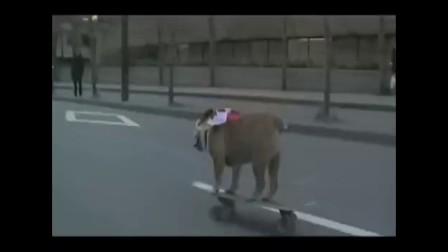 会玩滑板的斗牛犬提尔曼   萌啊