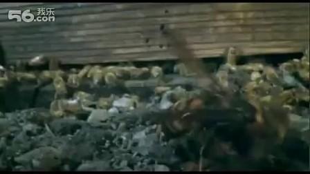 史诗级大片:30只日本大黄蜂屠杀3万只欧洲蜜蜂