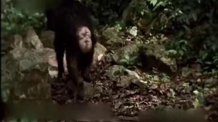 实拍1只想篡位的黑猩猩 为寻理由交战欲与头领的妻子交配