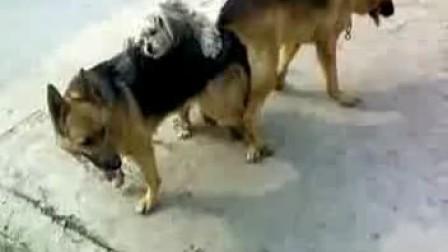纯种德牧配种视频 www.goupuzi.com狗狗犬舍