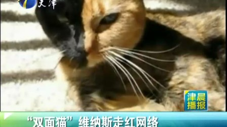 """""""双面猫""""维纳斯走红网络www.globaltemper.com.cn"""