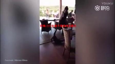 2米巨蜥闯入餐厅偷食 女服务员徒手拽其尾巴拖走