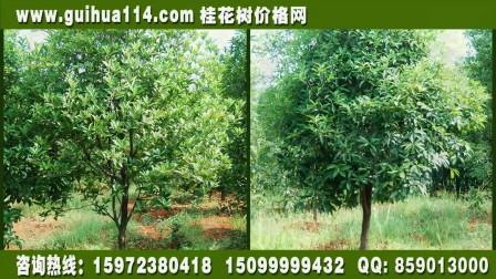 广东金桂价格,广东丹桂价格,请登录:www.guihua114.com查询价格