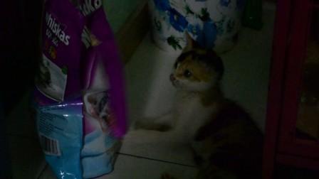 可爱萌猫tager在和猫粮食物袋玩-www.dynamickids.com.cn