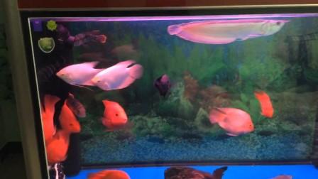 热带鱼大混养(银龙,皇冠,十间,战船,地图,鹦鹉,猪