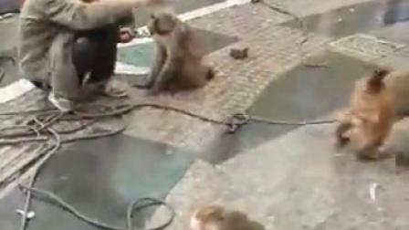 猴耍人还是人耍猴,事实证明猴子是人类祖先