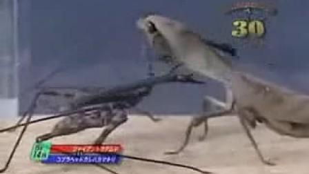 世界最强昆虫之鞭蝎PK枯叶螳螂
