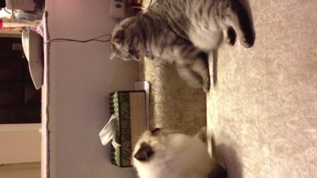 诺诺炎炎打架B#布偶猫