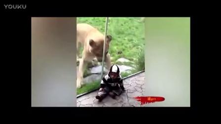 狮子张口咬孩子遭玻璃挡住_!!