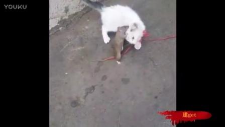 这老鼠要逆天了,死咬着猫不放!!!