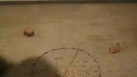 鸽子斑鸠圈套绊脚套使用实战视频