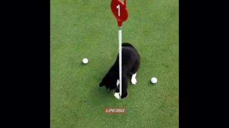 猫咪爱玩高尔夫球,用猫爪扒了出来