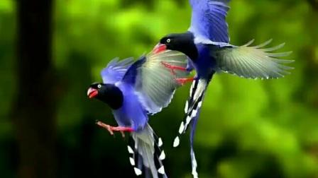 好声音鸟叫,百鸟叫声