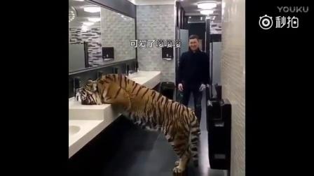战斗民族在洗手间里突然发现有一头老虎!接下来的场面,还挺温馨