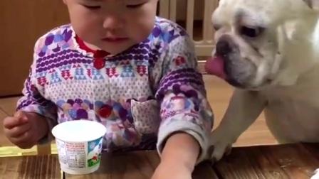 斗牛犬强行吃宝宝的酸奶,结果完全失控了