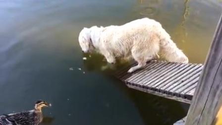 主人以为狗狗在河边喝水,谁知它却在做这么危险的事!