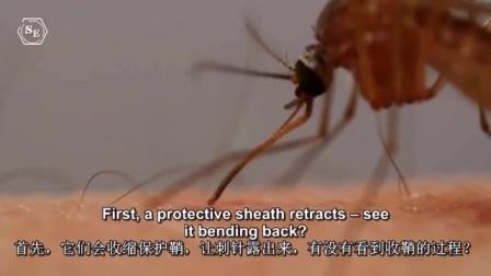 微焦镜头下蚊子吸血,竟也是如此复杂的过程!