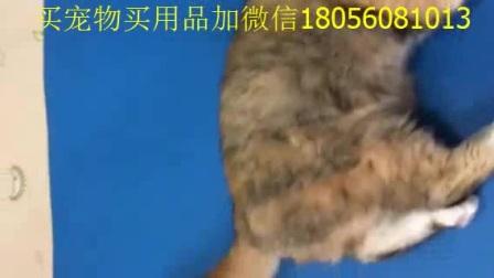 猫咪图片折耳猫头像