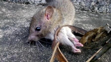 [捕鼠记]铁夹中的老鼠
