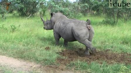 白犀牛标志他的领地