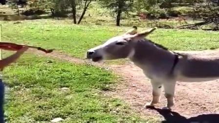 公驴只有见到母驴才叫 和女主人配合的天衣无缝!