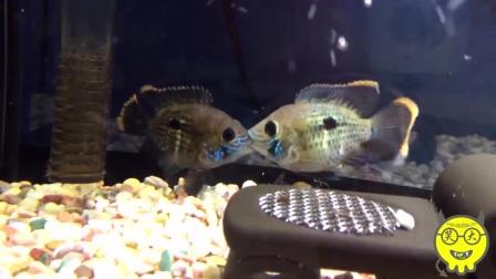 观赏鱼:我竟然看完了,两只蓝面财神鱼在Kiss,一分钟.mpg