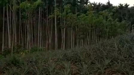 2017年4月2日 下午五点二十 万宁东兴农场 第一架次飞机挂槟郎树上 第二架次落地时撞小树枝上 飞机右侧机翼前缘 稀碎