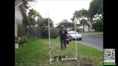 边境牧羊犬究竟可以跳多高?这个视频告诉你!