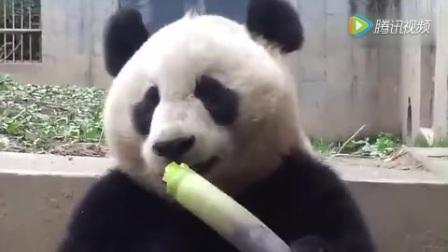 这视频有毒,我竟然看一个熊猫吃了3分钟竹子!