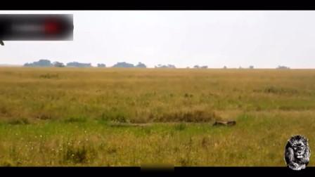 野猪速度有一百迈!直冲着非洲猎豹去,鼻子一拱猎豹瞬间被挑上天