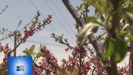 【延安市广播电视台—百姓关注】快来富县袁家村十里桃园认养属于你的桃树吧!