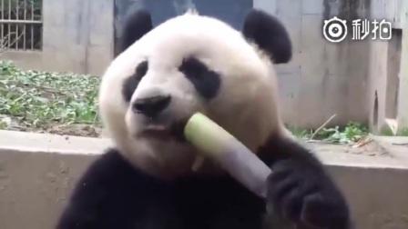 国宝滚滚教你如何正确吃竹子 大熊猫