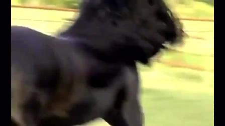 这匹马号称是世界上最帅的马,配种一次需要三万元