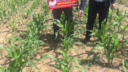 金太龙淮北玉米使用效果