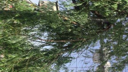 刮大风,树断了好多