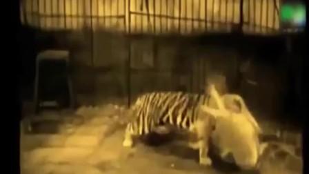 把老虎和雄狮关在笼子里单挑,场景连驯兽师都怕