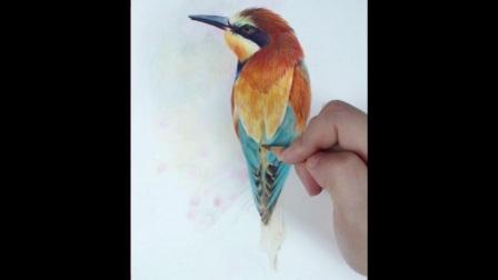 短尾翠鸟(下)彩铅画教程
