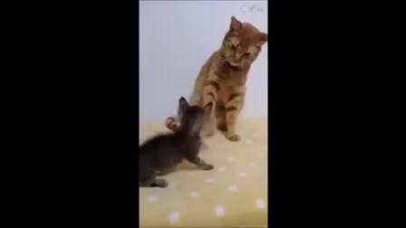小猫咪一直想靠近喵粑粑,结果被它一爪给压在地上了