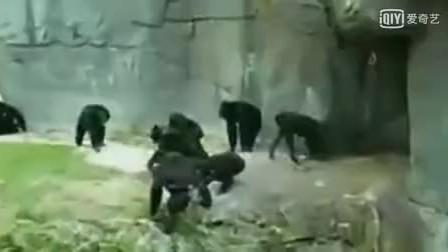 大猩猩打群架 堪比古惑仔 够狠