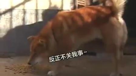 一只怕狗但敢欺负狮子的熊