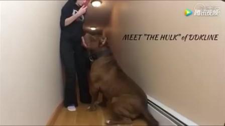 目前世界最大的比特犬 重173磅无视任何对手!