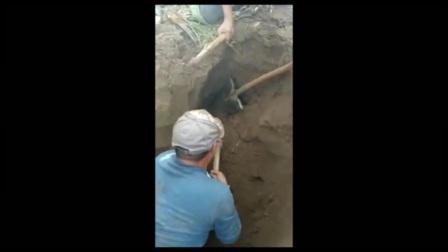 阿邦服装-玉米地里出现大家伙,村里几个壮劳力将其打死