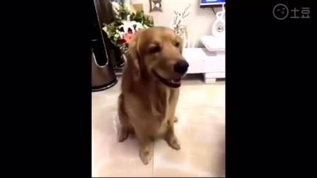 """狗狗被问""""咱家谁是老大"""",狗狗看了女主人一眼,接下来真好笑"""
