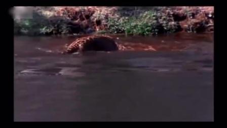 """""""豹子独战五条鳄鱼""""头被咬掉半块"""